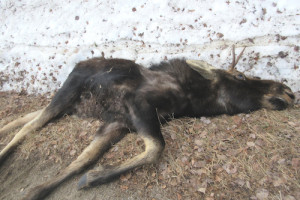 Babin moose photo 1
