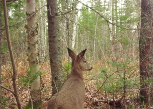 Deer in cedar swamp
