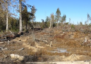 Destroyed cedar swamp